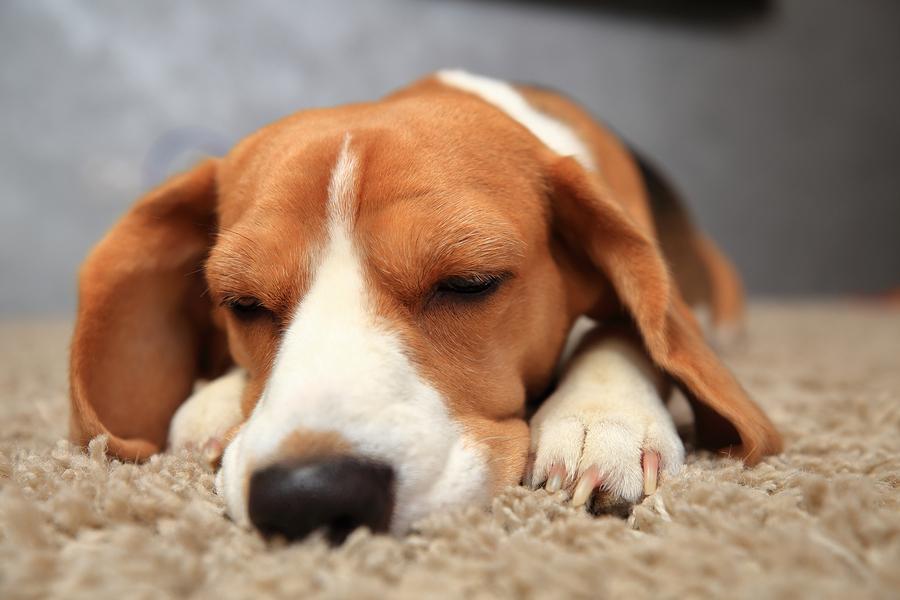 Beagle dog with closed eyes close-up. Beagle dog sleeps on soft carpet.
