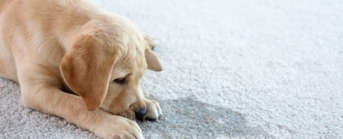 Puppy lying on a wet carpet